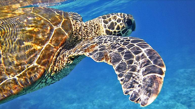 Черепахи могут принимать пластик за еду из-за запаха