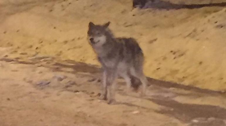 Истощенный волк прибежал прямо к автомобильной дороге. Фото: группа
