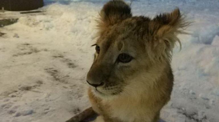 У петербуржца забрали незаконно ввезённого львёнка