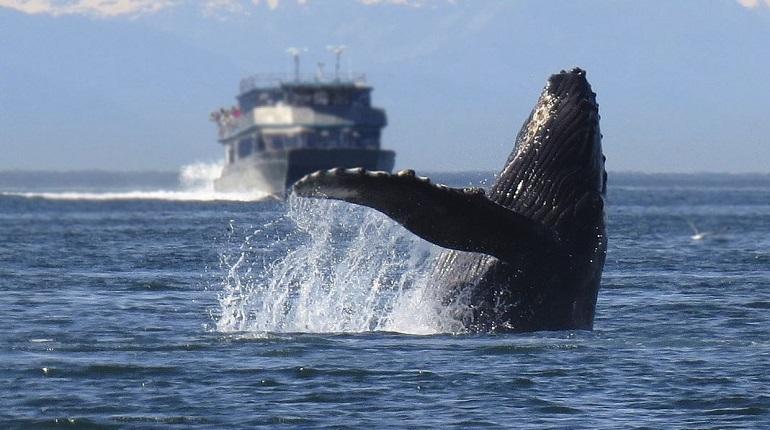 Южные киты научились «шептаться» друг с другом