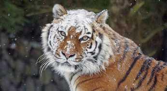 В Приморском крае рейсовый автобус сбил амурского тигра