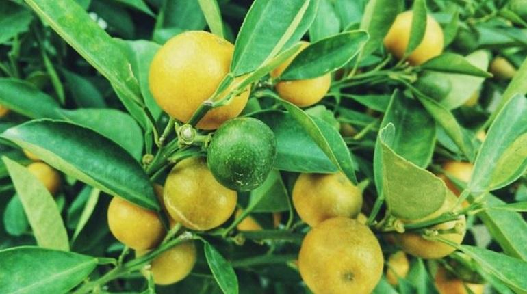 Журналисты Forbes назвали лимон предметом роскоши для россиян
