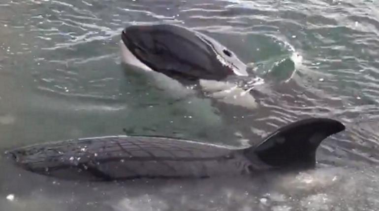 Косаток из «китовой тюрьмы» перед выпуском подготовят к вольной жизни