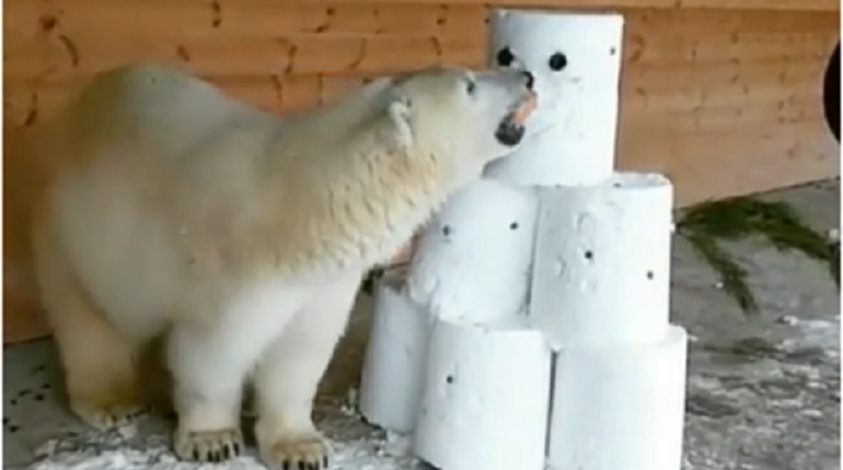 Видео: медведица Хаарчаана в Ленинградском зоопарке поиграла со снеговиком
