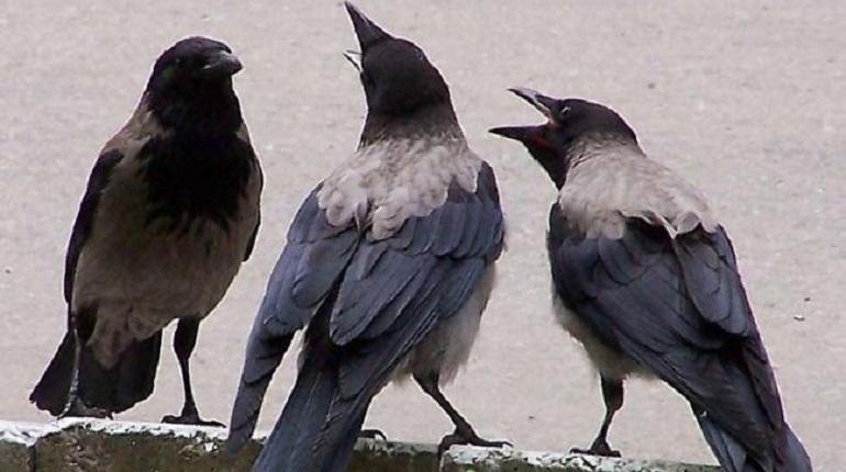 Чёрные вороны переживают и умеют осознавать происходящее