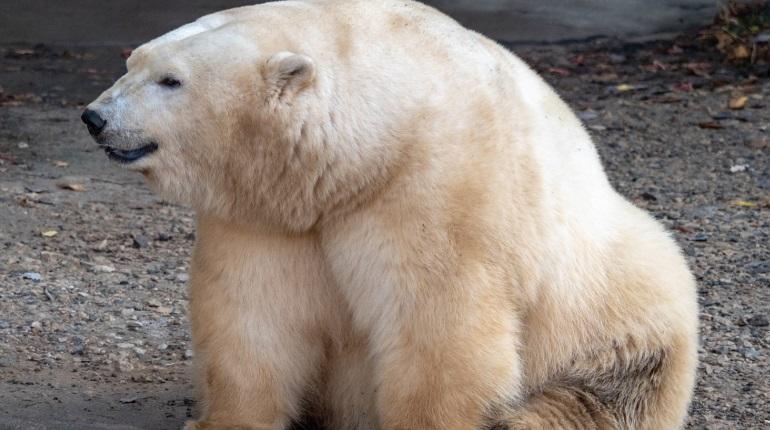 Стало известно, как Новую Землю спасут от нашествия белых медведей