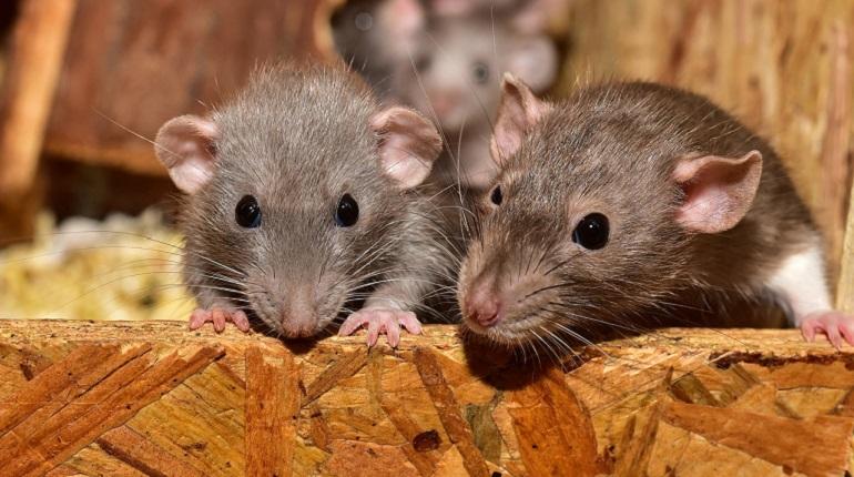 Петербуржцев предупредили о возможном нашествии инфицированных крыс