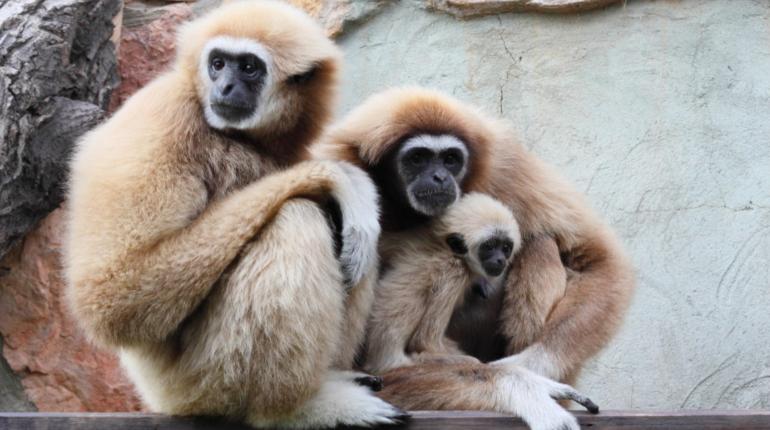 Самка гиббона забеременела, живя в одиночном вольере японского зоопарка