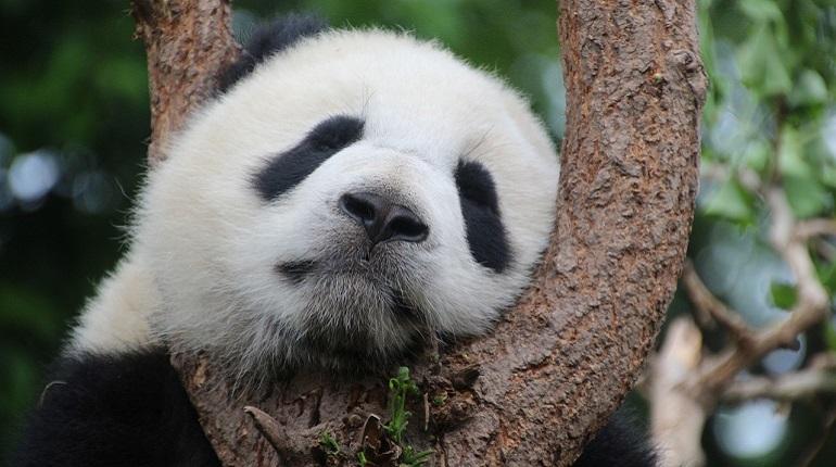 Ученые выяснили, что панды раньше были хищниками