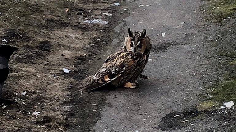 На Косыгина нашли ушастую сову