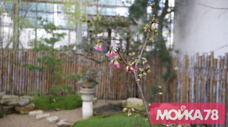 В Ботаническом саду зацвела сакура. Фото: Мойка78