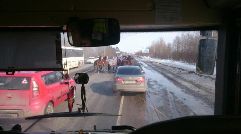Табун лошадей затруднил движение на Киевском шоссе