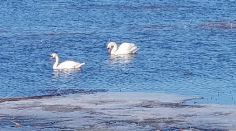 Лебеди на КЗС. Фото: Instagram
