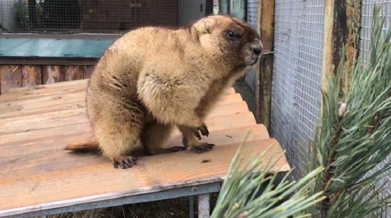 Пришла весна: в Ленинградском зоопарке проснулись сурки