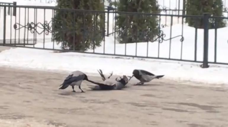 Улицы Петербурга атаковали вороны-каннибалы
