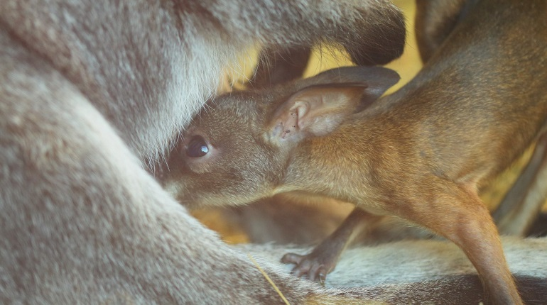 Семейство кенгуру в Ленинградском зоопарке. Фото: Ленинградский зоопарк