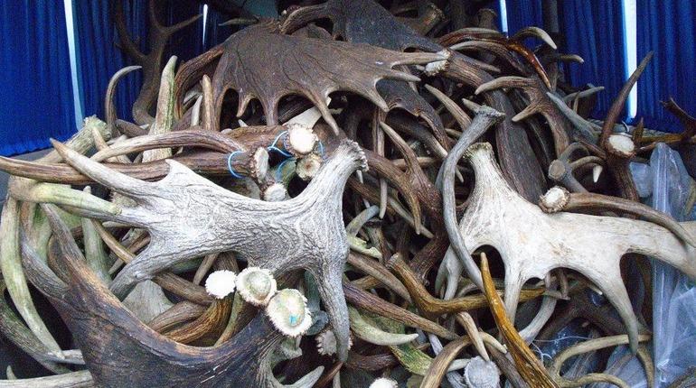 Россельхознадзор не пустил тонну рогов лося в Белоруссию. Фото: ursn.spb.ru