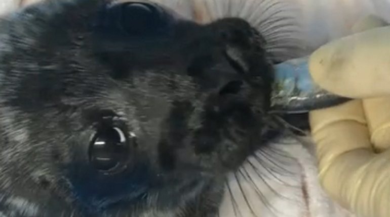 Спасенный в Кировске нерпенок. Фото: кадр видео