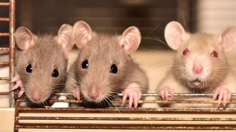 Млекопитающие обзавелись социальным поведением 75 млн лет назад