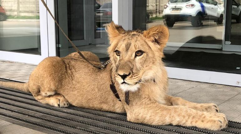 Спасенная в Петербурге львица Симона прошла рентген