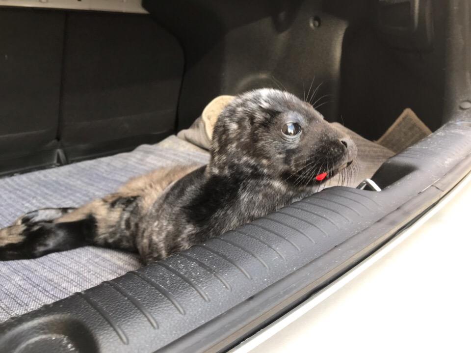 Детеныша нерпы спасли в Кировске. Фото: Спасение тюленей 699-23-99
