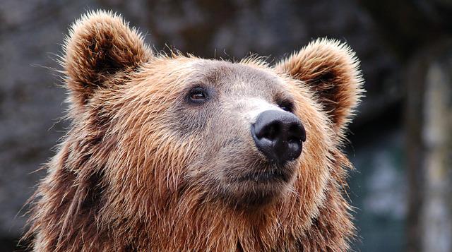 Медведь не пережил похода на торговую базу в Чите