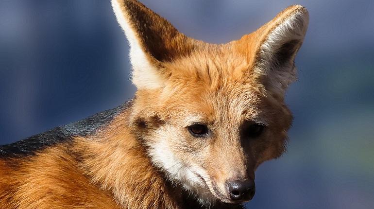 Петербуржцы обеспокоены приходом лис в Стрельну, их просят не кормить и не трогать