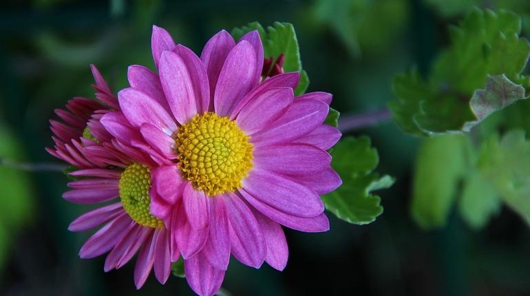 Хризантемы с белой ржавчиной не прошли контроль в Ленобласти