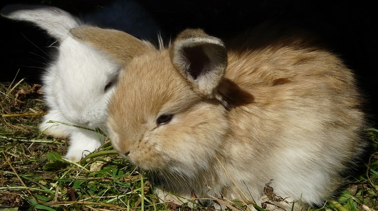 Ген, который «научил» кроликов прыгать, обнаружили у кроликов, не умеющих прыгать