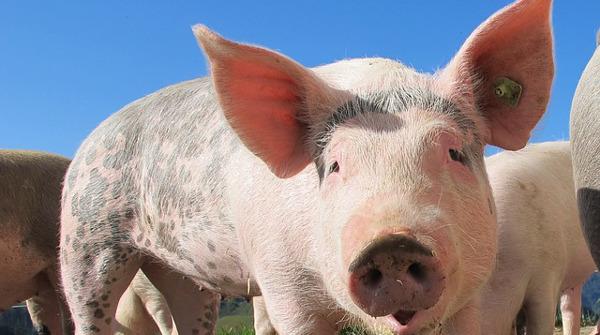 Поросячий Франкенштейн: ученые оживили мозг свиньи