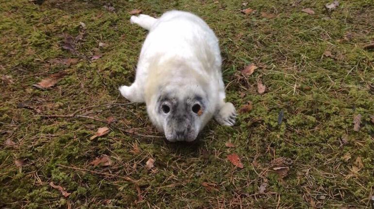 В Кингисеппском районе нашли заблудившегося в лесу тюлененка