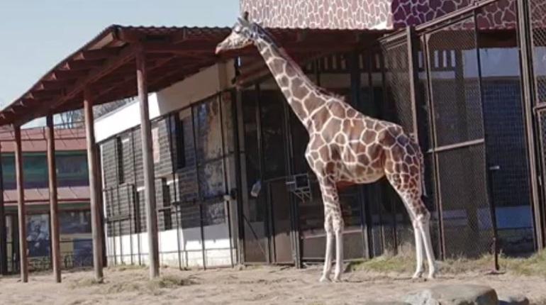 Жираф Соня не оценила весну в Петербурге