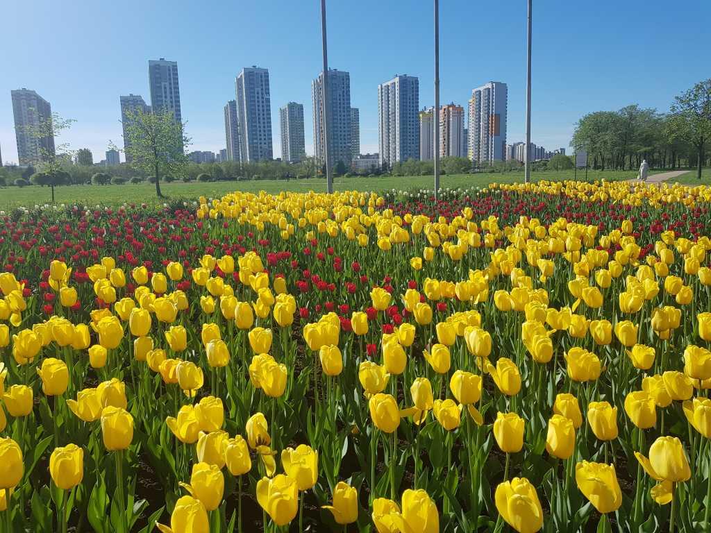 Выглянувшее солнце заставило тюльпаны в Петербурге зацвести раньше обычного