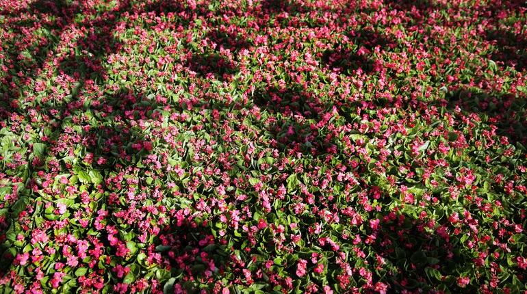 Весной в Петербурге высадят больше многолетних цветов