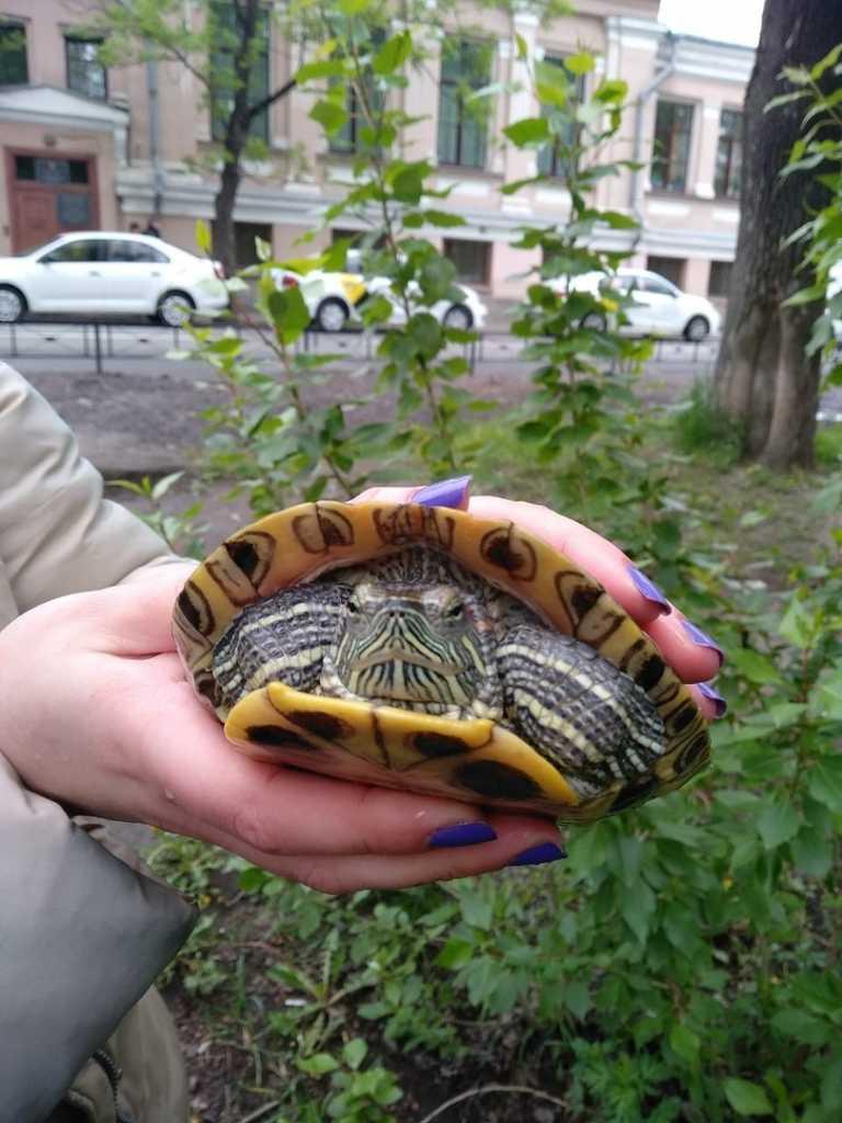 В реке Смоленке нашли редкую черепаху