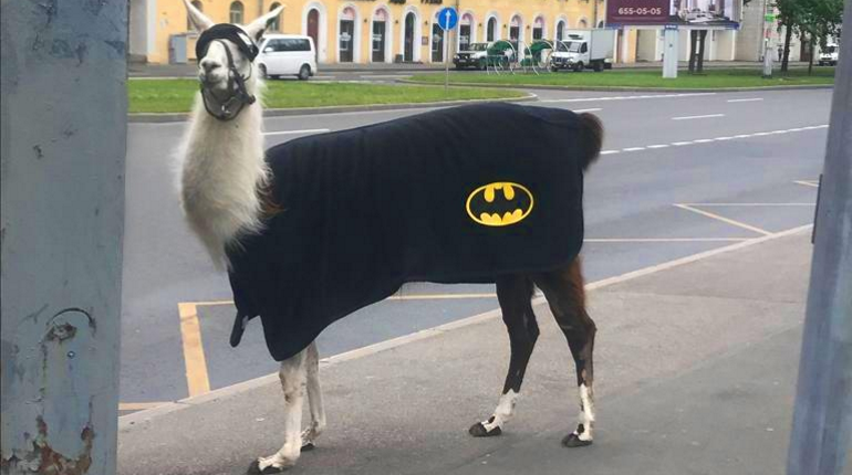 По Петербургу гуляла лама-бэтмен