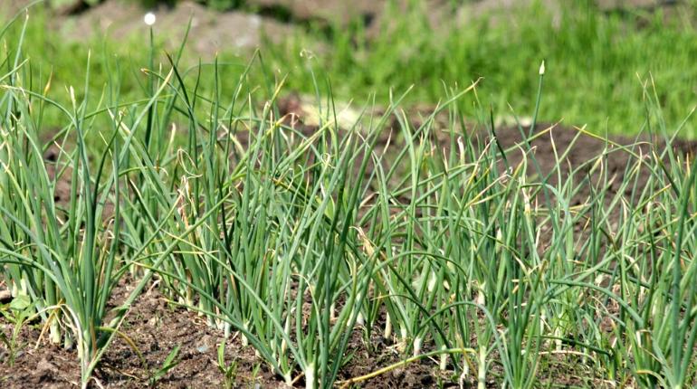 Вилки и кофейная гуща: как защитить дачную рассаду от вредителей