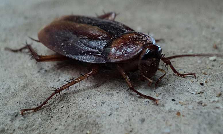 Ученые: человечество спасет молоко тараканов