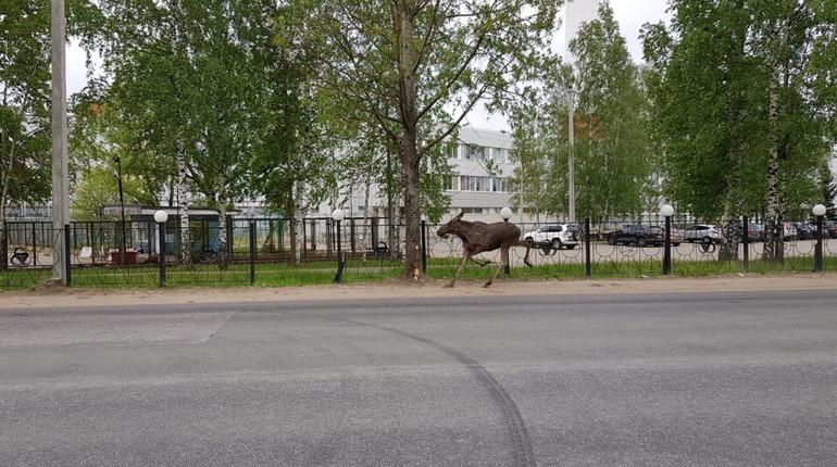 У ЛАЭС заметили бегущего лося. Фото: vk.com/leningradaes