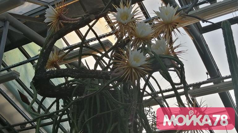 «Мойка78» публикует фото Царицы ночи с рекордным количеством цветков