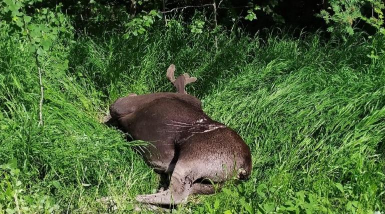 У Гладышевского заказника иномарка насмерть сбила лося