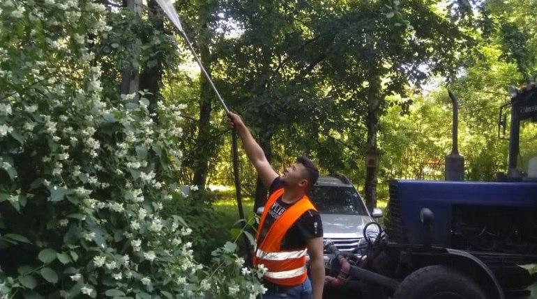 В Купчино с черемуховой молью борются водой