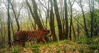 В Приморье засняли амурского тигра, делающего селфи