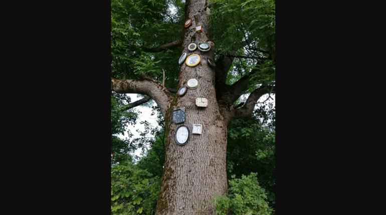В Луге нашли «часовое» дерево