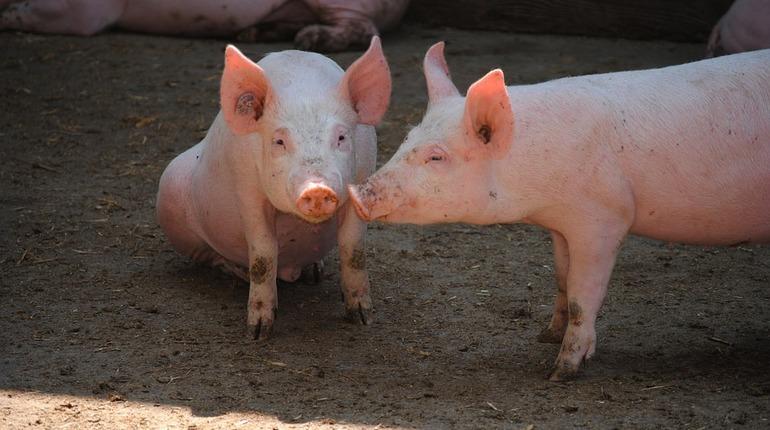 Китайские ученые вырастили гибрид свиньи и обезьяны