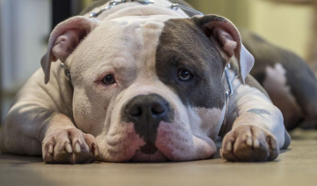 В России могут начать по крупному штрафовать за выгул опасных собак без намордника