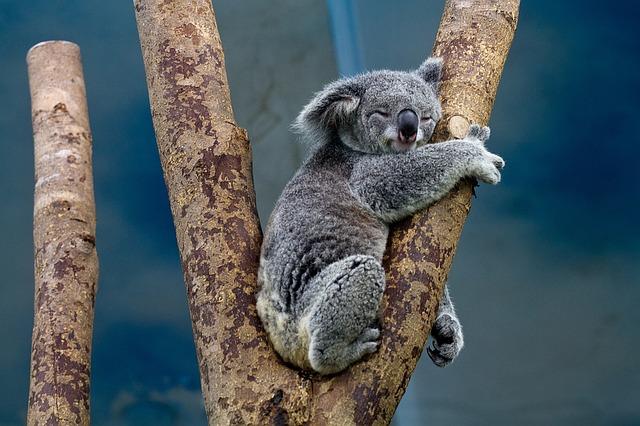 Биологи придумали, как спасти коал от вымирания