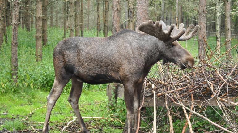 В Петербурге ожидается нашествие лосей, у них период размножения
