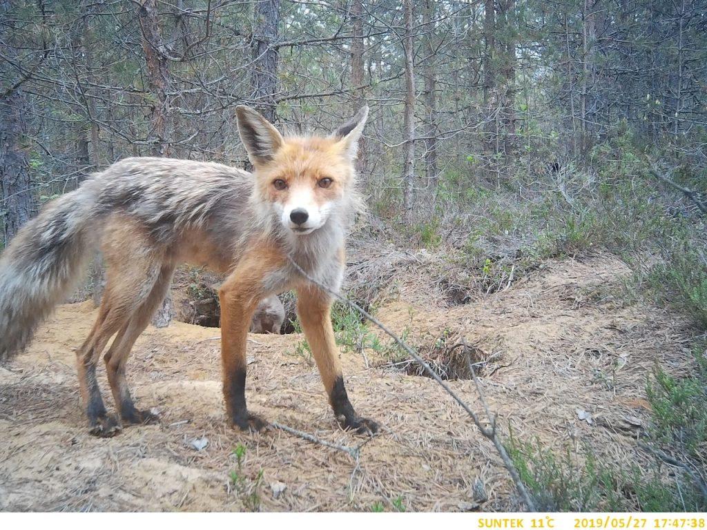 В Смольном рассказали, откуда в городе взялись лисы