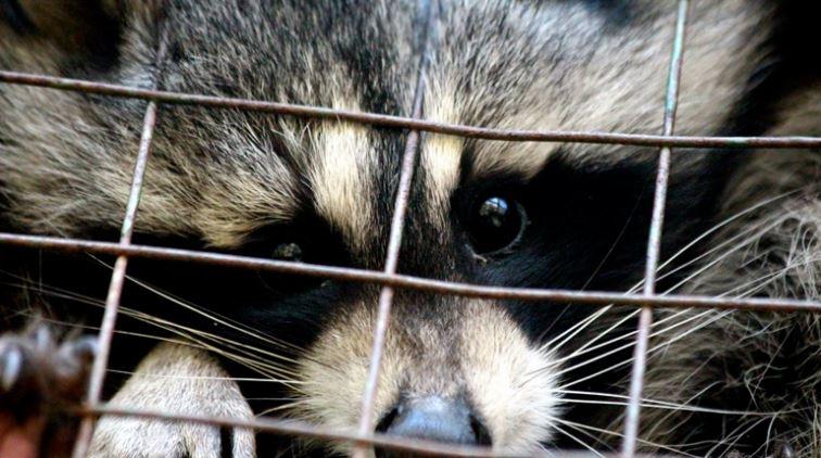В зоопарке на Спасском посетители играли с непривитыми енотами